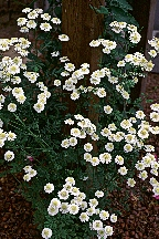 Feverfew by Stephen Foster